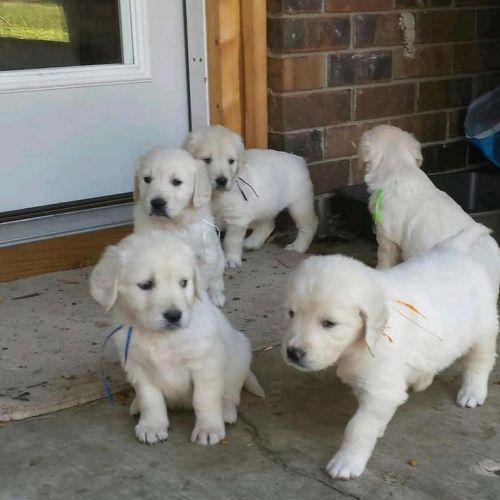 Golden Retriever Puppies for sale in Las Vegas, NV, USA. price 800USD