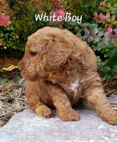 French Bulldog Sale Norfolk | Hoobly US