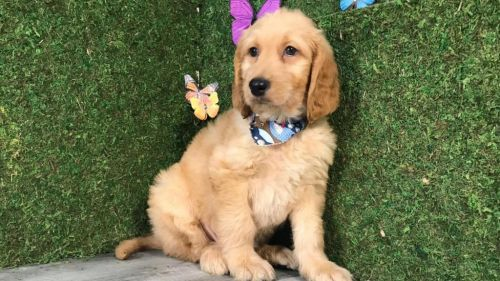 Goldendoodle Puppies for sale in 8690 SW 137th Ct, Miami, FL 33183, USA. price -USD