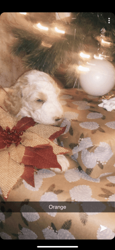 Goldendoodle Puppies for sale in Fort Worth, TX, USA. price 1600USD