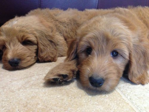 Goldendoodle Puppies for sale in Sacramento, CA 95823, USA. price 500USD