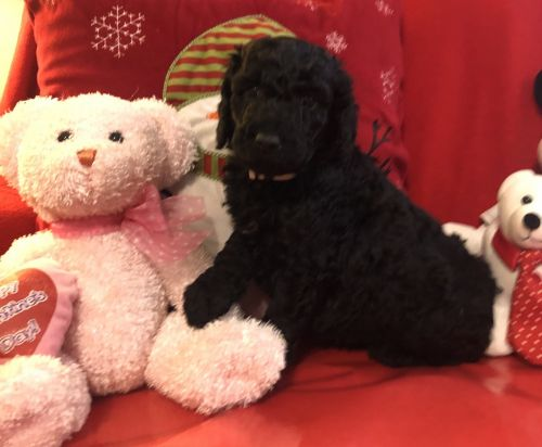 Goldendoodle Puppies for sale in Berea, KY, USA. price 1200USD