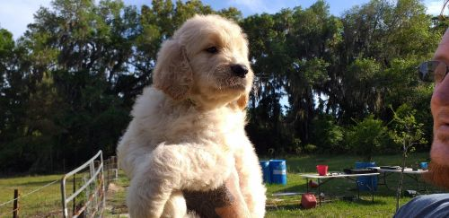 Goldendoodle Puppies for sale in Live Oak, FL, USA. price 1800USD