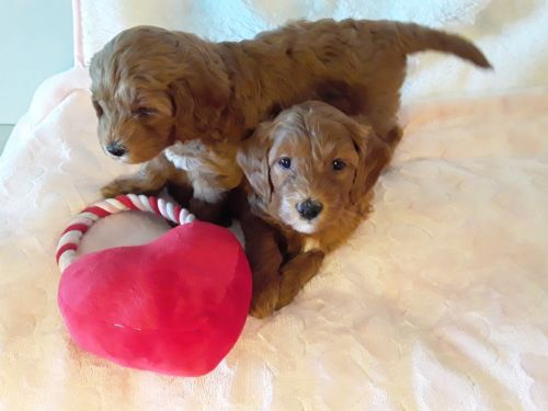 Goldendoodle Puppies for sale in Winter Haven, FL, USA. price 2200USD