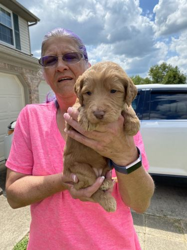 Goldendoodle Puppies for sale in Versailles, KY 40383, USA. price 1500USD
