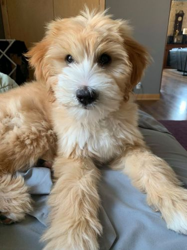 Goldendoodle Puppies for sale in Los Angeles, CA, USA. price 600USD