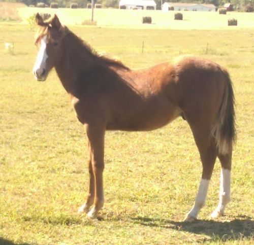 Grade Horse Horses for sale in Hardinsburg, KY, USA. price 200USD