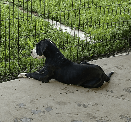 Great Dane Puppies Sale | Indianapolis, IN #3348 | Hoobly US