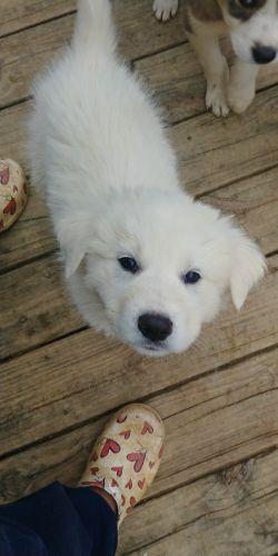 Great Pyrenees Puppies for sale in Gadsden, AL, AL, USA. price 250USD