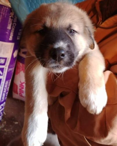 Great Pyrenees Puppies for sale in Rural Hall, NC, USA. price 250USD