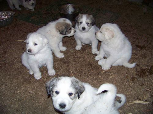 Great Pyrenees Puppies for sale in East Bernstadt, KY 40729, USA. price 250USD