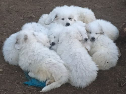 Great Pyrenees Puppies for sale in Rehoboth, MA 02769, USA. price 1500USD