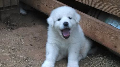 Great Pyrenees Puppies for sale in Rutherfordton, NC, USA. price 300USD