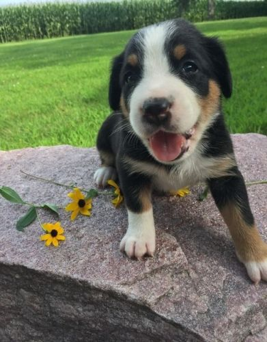 Greater Swiss Mountain Dog Puppies for sale in Glasgow, KY 42141, USA. price -USD
