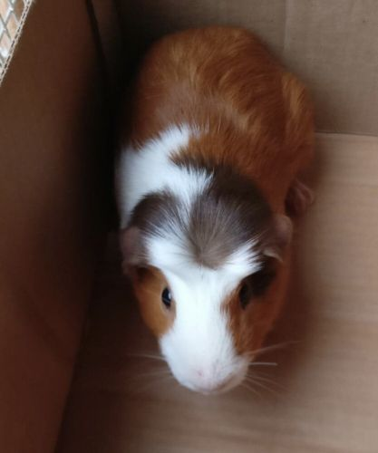 Guinea Pig Rodents for sale in Woodville, OH 43469, USA. price 25USD
