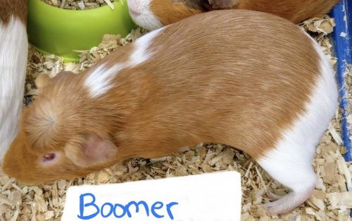 Guinea Pig Rodents for sale in Woodville, OH 43469, USA. price 10USD