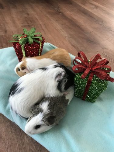Guinea Pig Rodents for sale in Trenton, OH, USA. price 10USD