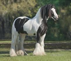 Gypsy Vanner Horses for sale in Dallas, TX, USA. price 20000USD