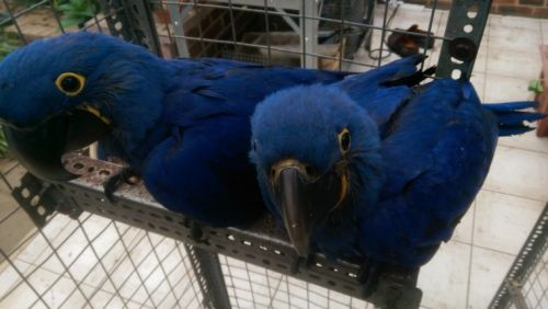 Hahn's macaw Birds for sale in Los Angeles, CA, USA. price -USD