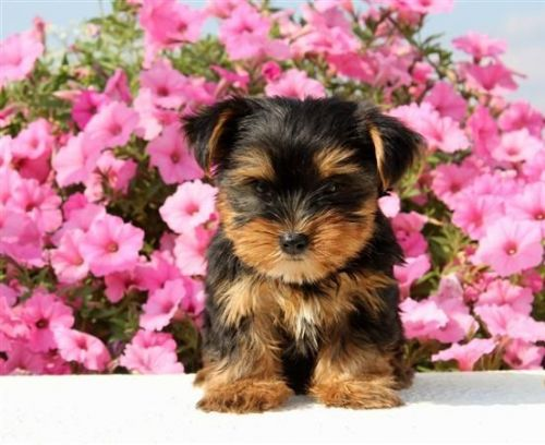 Haldenstovare Puppies for sale in Birmingham Way, Woodstock, MD, USA. price 2500USD