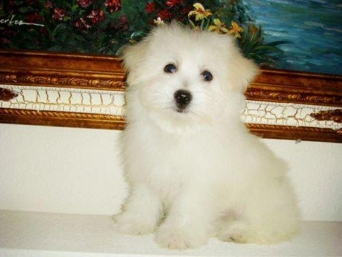 Havanese Puppies Sale | Charleston, SC #4991 | Hoobly US