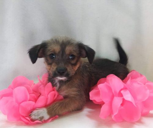 Havanese Puppies for sale in Birch Run, MI 48415, USA. price 300USD