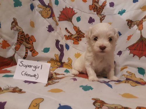 Havanese Puppies for sale in Huron, SD 57350, USA. price 1200USD