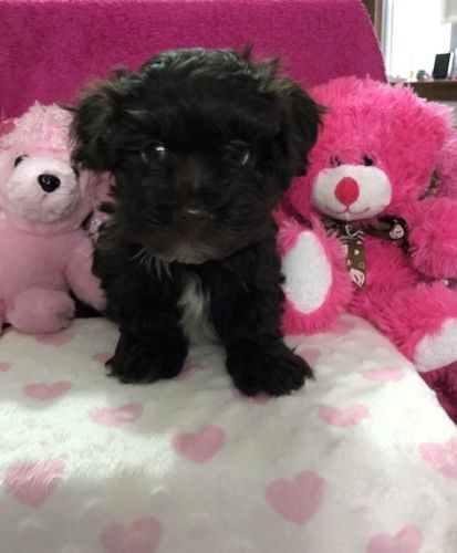 Havanese Puppies for sale in Peebles, OH 45660, USA. price 700USD
