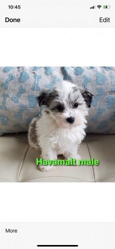 Havanese Puppies for sale in London, KY, USA. price 2200USD