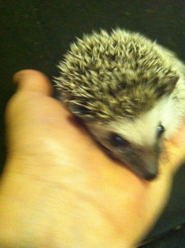 Hedgehog Animals for sale in Bluffton, SC, USA. price 200USD