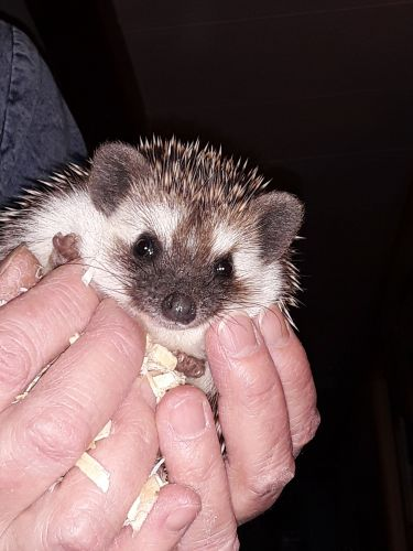 Hedgehog Animals for sale in Belt, MT 59412, USA. price 125USD