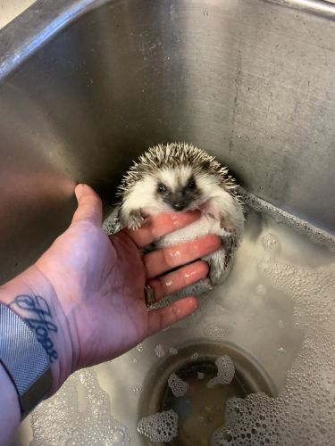 Hedgehog Rodents for sale in Hillsdale, MI, USA. price 200USD