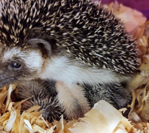 Hedgehog Animals for sale in Hampstead, MD 21074, USA. price -USD