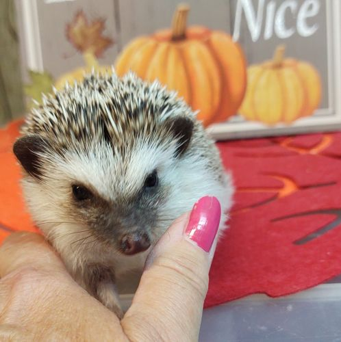 Hedgehog Animals for sale in Hampstead, MD 21074, USA. price 100USD