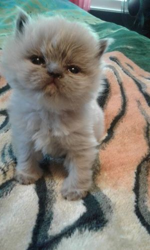 Himalayan Cats for sale in Worcester, MA, USA. price 750USD