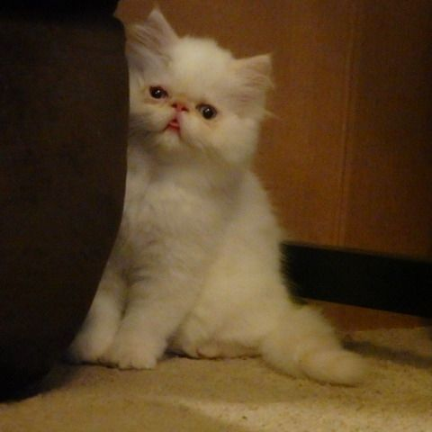 Himalayan Cats for sale in Denver, CO, USA. price 500USD