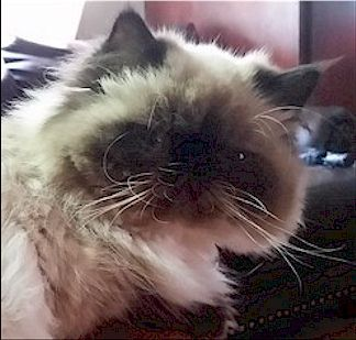 Himalayan Cats for sale in Springhill, LA 71075, USA. price -USD