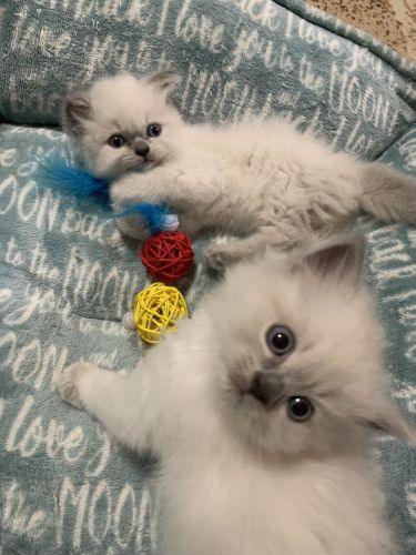 Himalayan Cats for sale in Binghamton, NY, USA. price 600USD