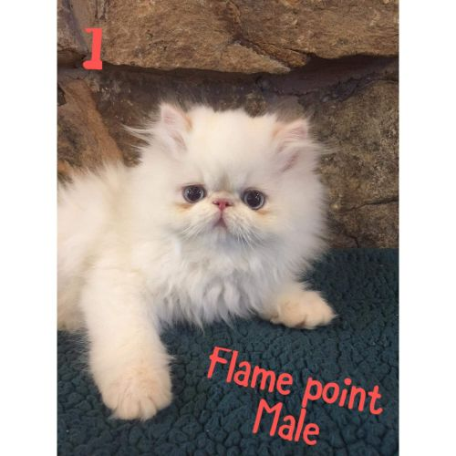 Himalayan Cats for sale in 2506 Lark Ave, Altoona, PA 16602, USA. price 800USD