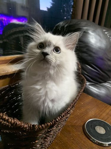 Himalayan Cats for sale in Binghamton, NY, USA. price 450USD