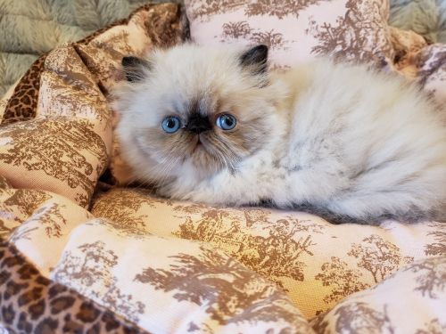 Himalayan Cats for sale in Williamsport, PA, USA. price 600USD