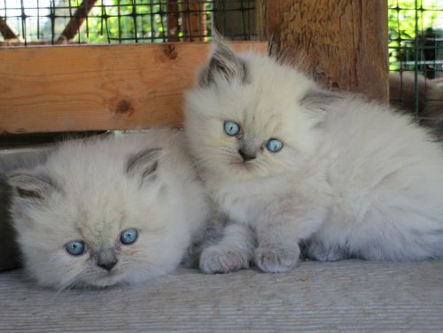 Himalayan Cats for sale in Hinton, WV 25951, USA. price 400USD