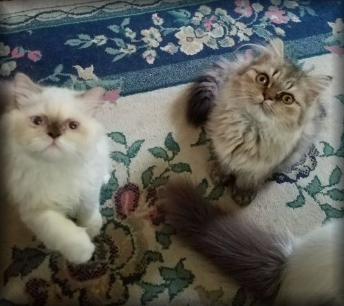 Himalayan Persian Cats for sale in Brookville, PA 15825, USA. price 450USD