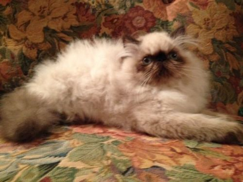 Himalayan Persian Cats for sale in Atlanta, GA, USA. price 750USD