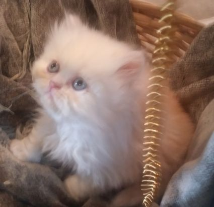 Himalayan Persian Cats for sale in Springhill, LA 71075, USA. price 650USD