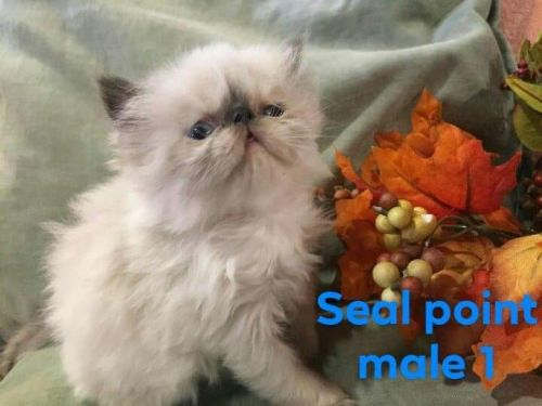 Himalayan Persian Cats for sale in 2506 Lark Ave, Altoona, PA 16602, USA. price 800USD