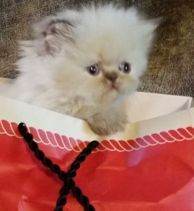 Himalayan Persian Cats for sale in Springhill, LA 71075, USA. price -USD