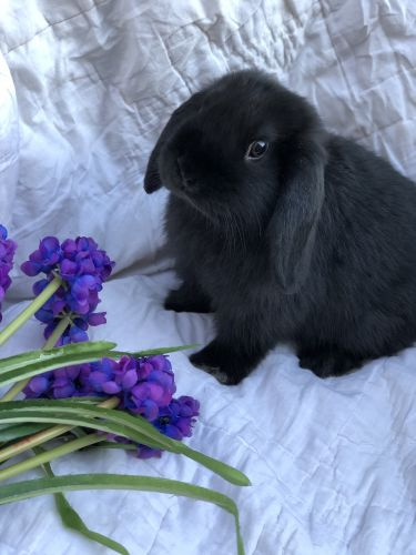 Holland Lop Rabbits for sale in Norco, CA, USA. price 100USD