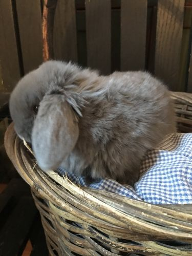 Holland Lop Rabbits for sale in Cameron, NC 28326, USA. price 75USD