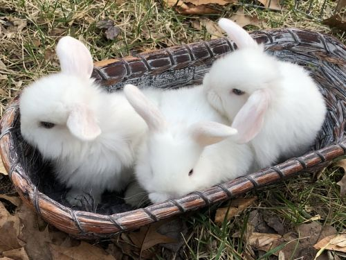 Holland Lop Rabbits for sale in Hillsdale, NJ 07642, USA. price -USD